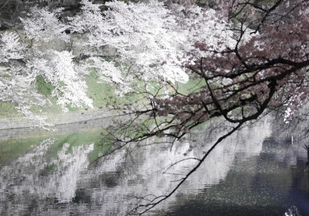 講習のあとに夜桜見物